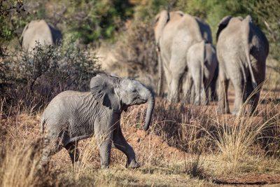 Elefantenbaby Pilantes Südafrika