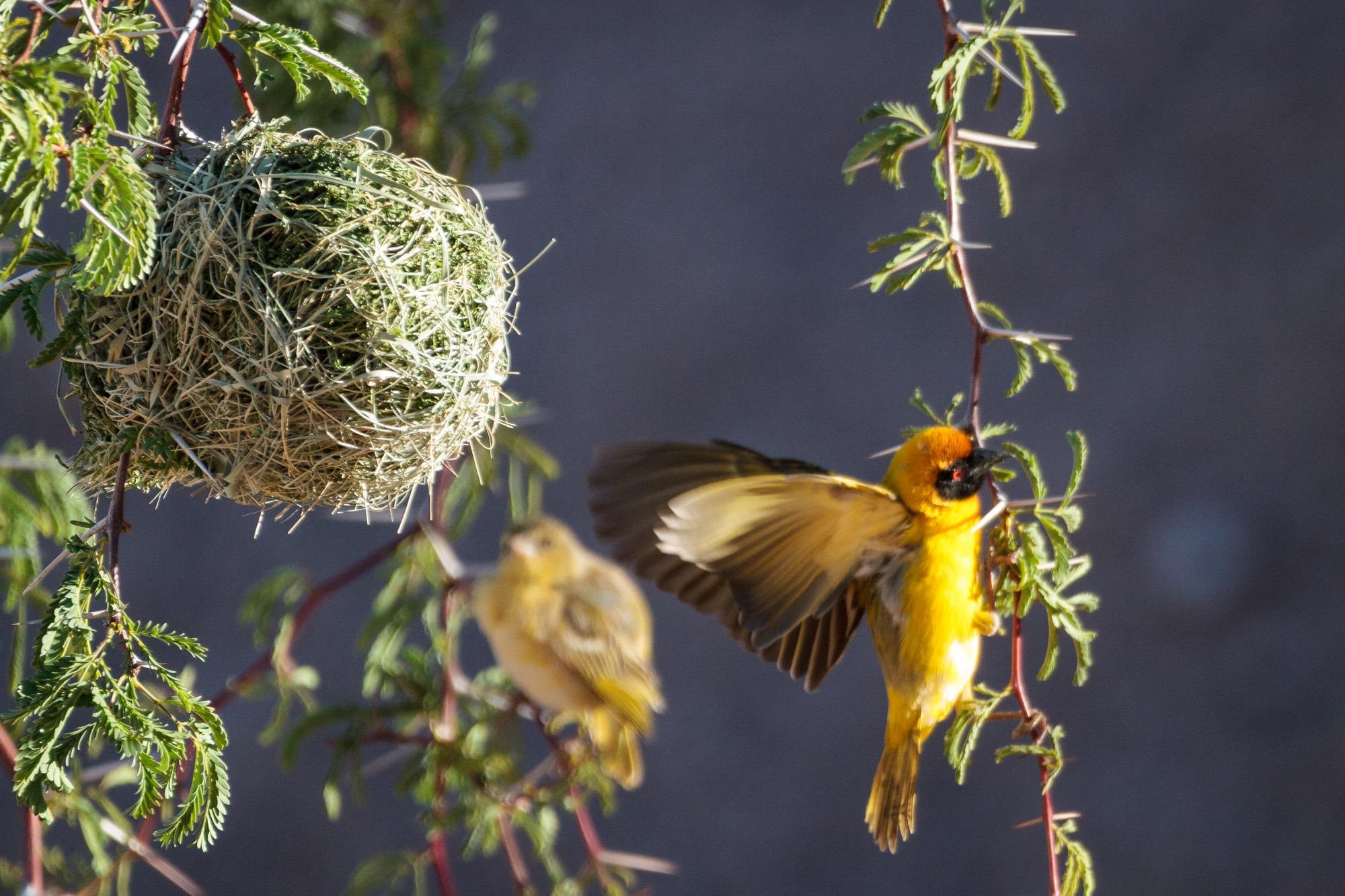 Webervogel beim Nestbau in Namibia