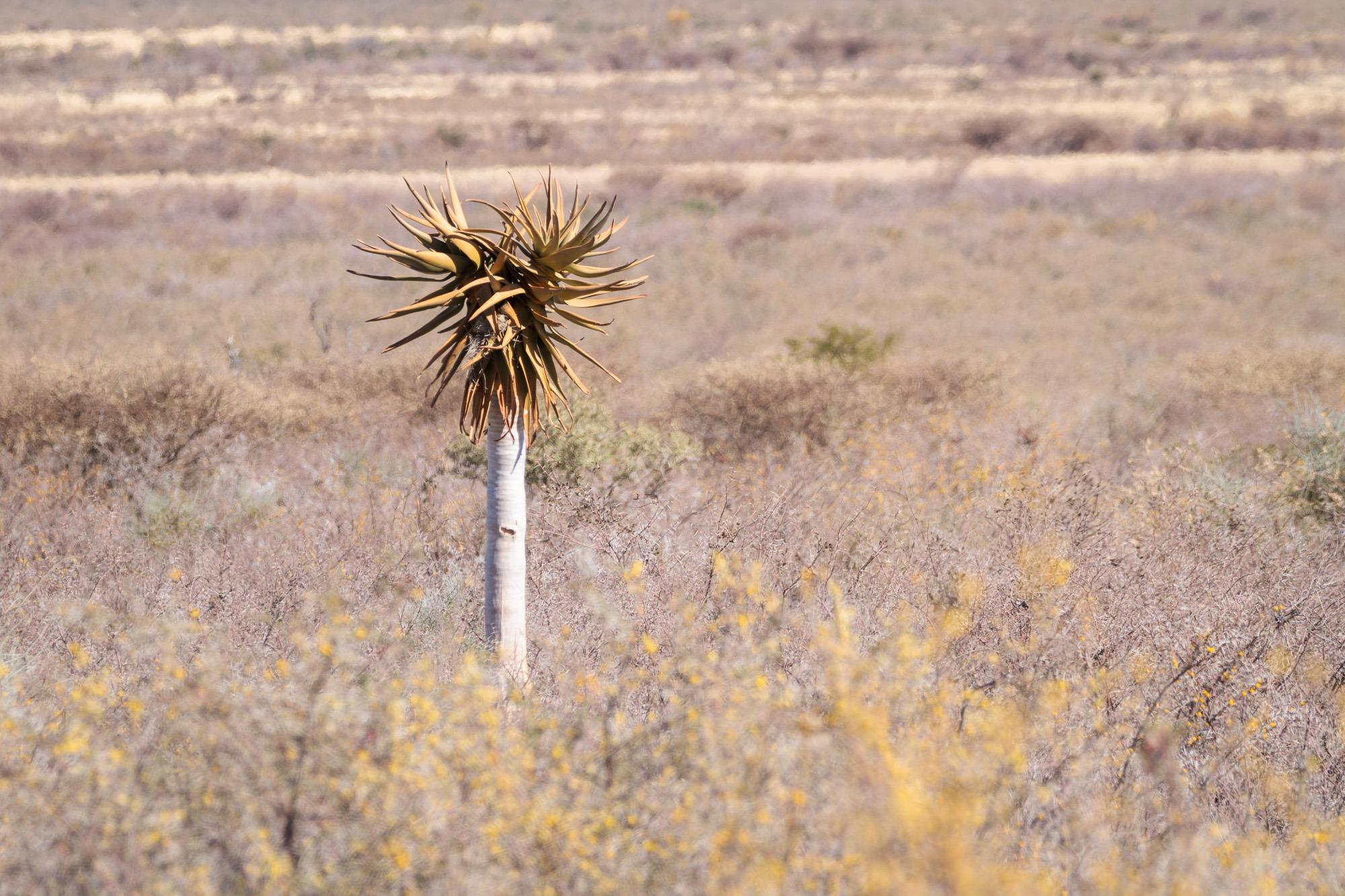 Einsamer kleiner Köcherbaum am Rand einer Strasse in Namibia