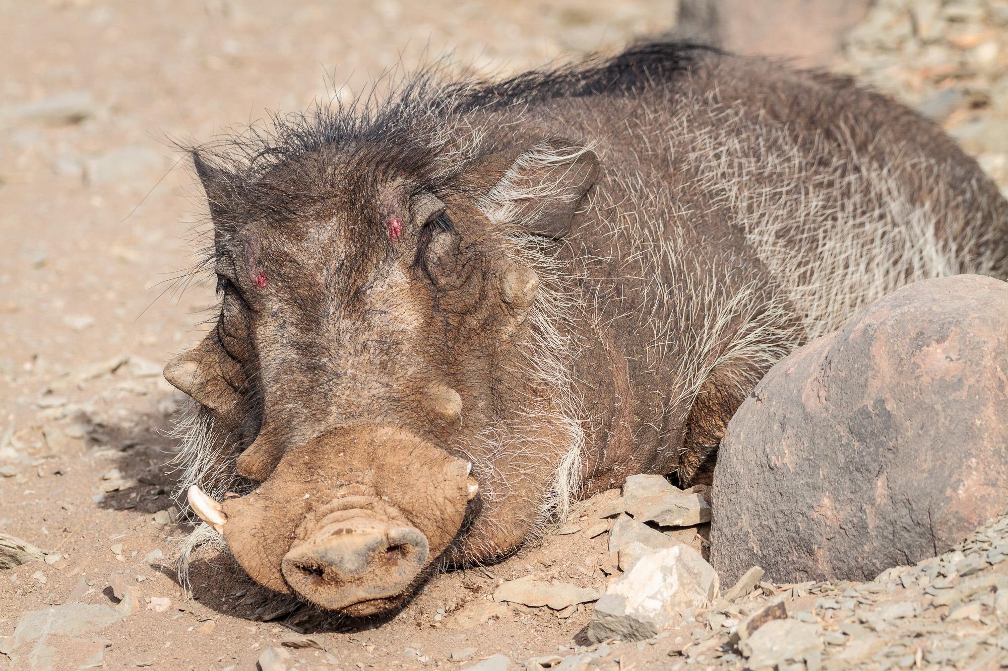 Liegendes und schlafendes Warzenschwein