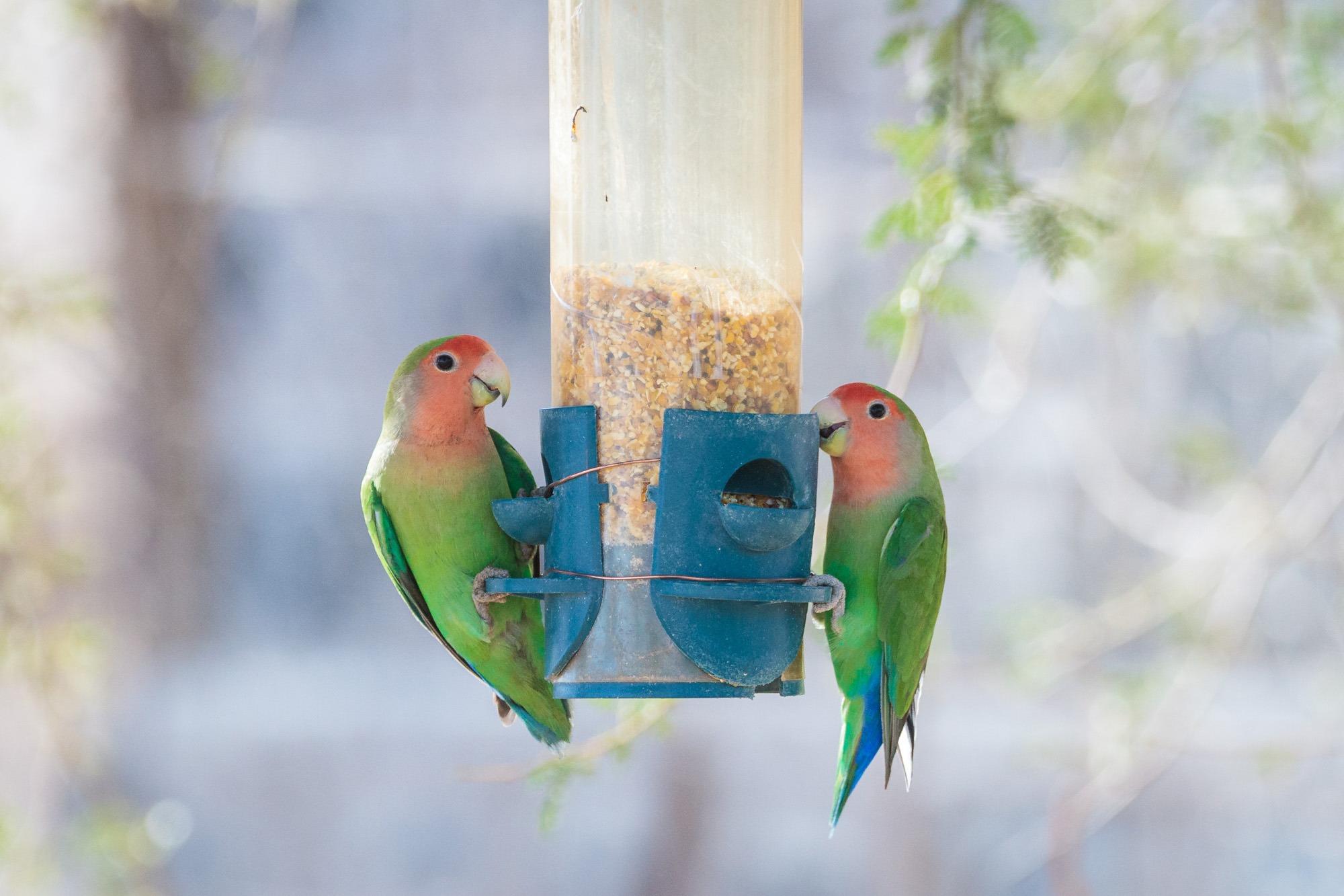 Unzertrennliche Lovebirds in Namibia