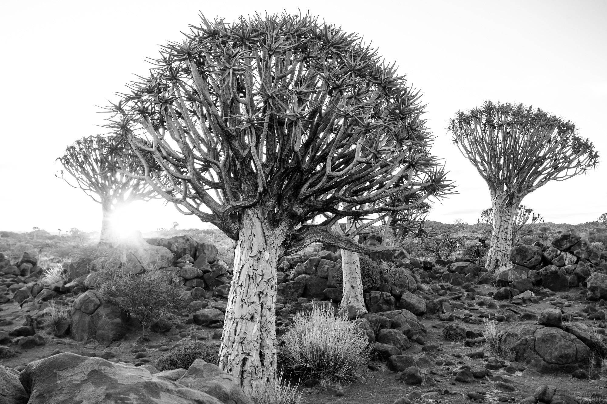 Schwarz Weiss Quivertree Forest Köcherbaumwald Keetmanshoop Namibia