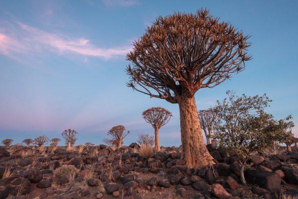 Köcherbaum im Quivertree Forest Rest Camp bei Sonnenuntergang in Namibia
