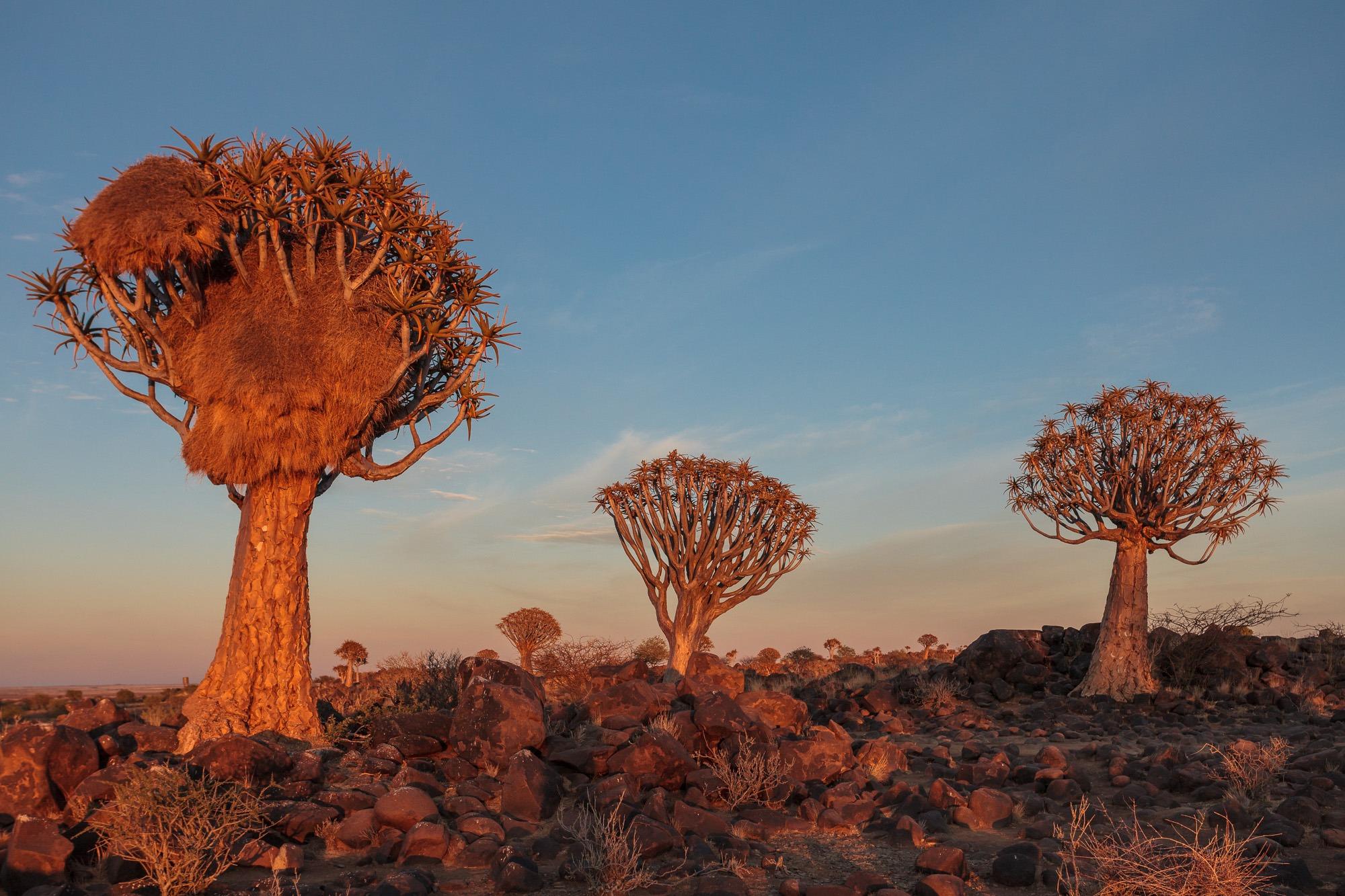 Sonnenaufgang im Köcherbaumwald Quiver Tree Forest in Namibia mit orangenem Licht