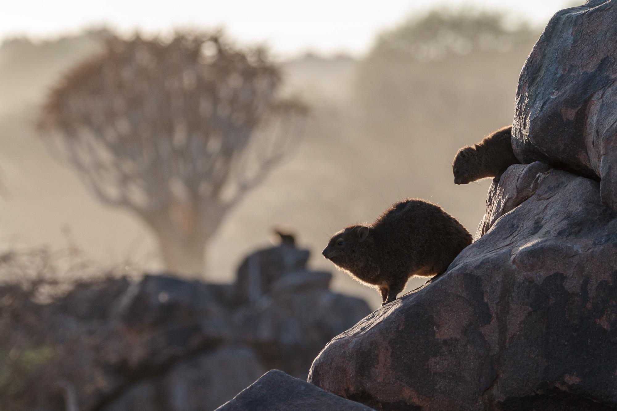 Klippschliefer im Gegenlicht im Köcherbaumwald Namibia