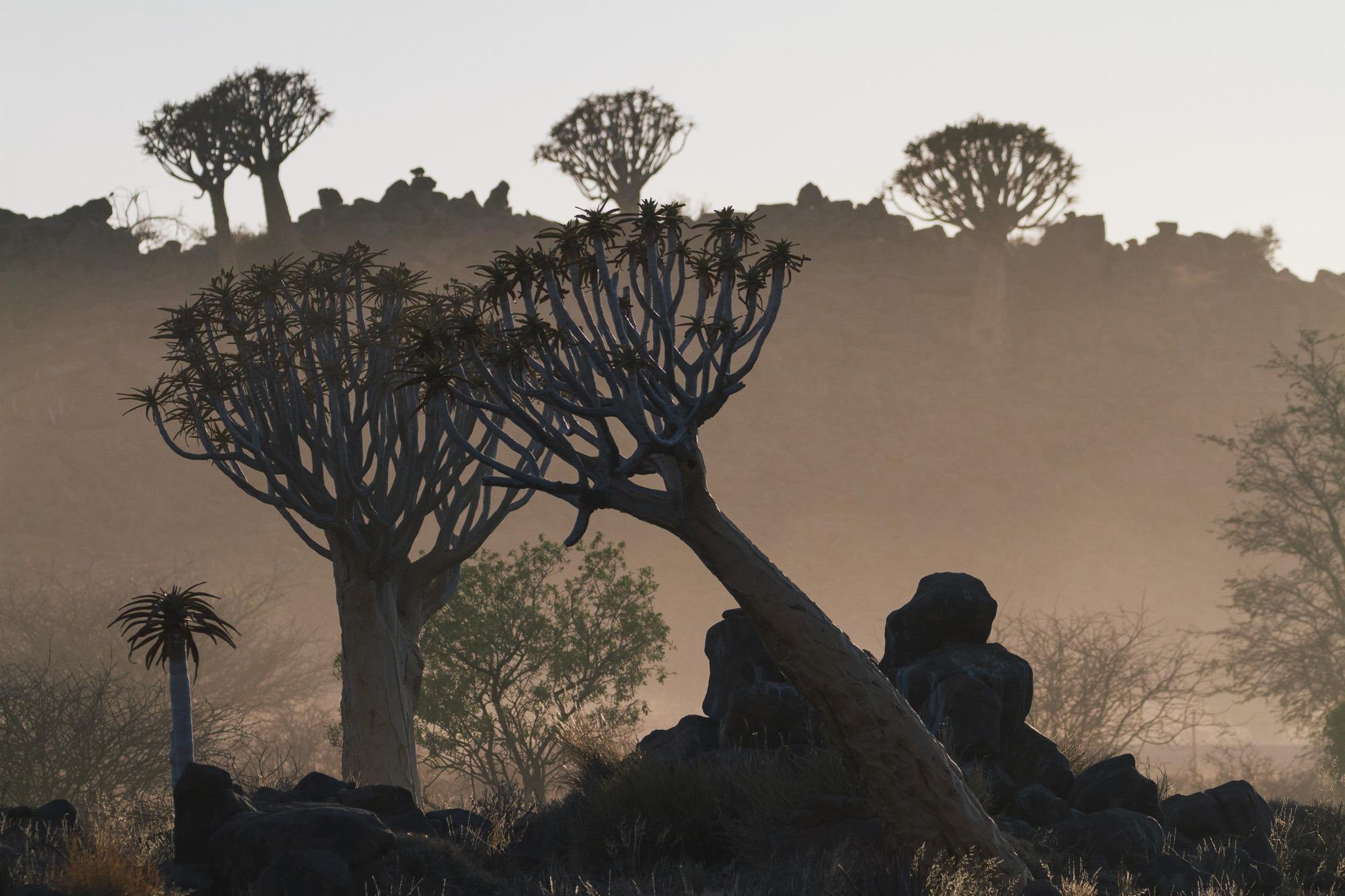 Sonnenaufgang am Köcherbaumwald in Namibia Gegenlicht