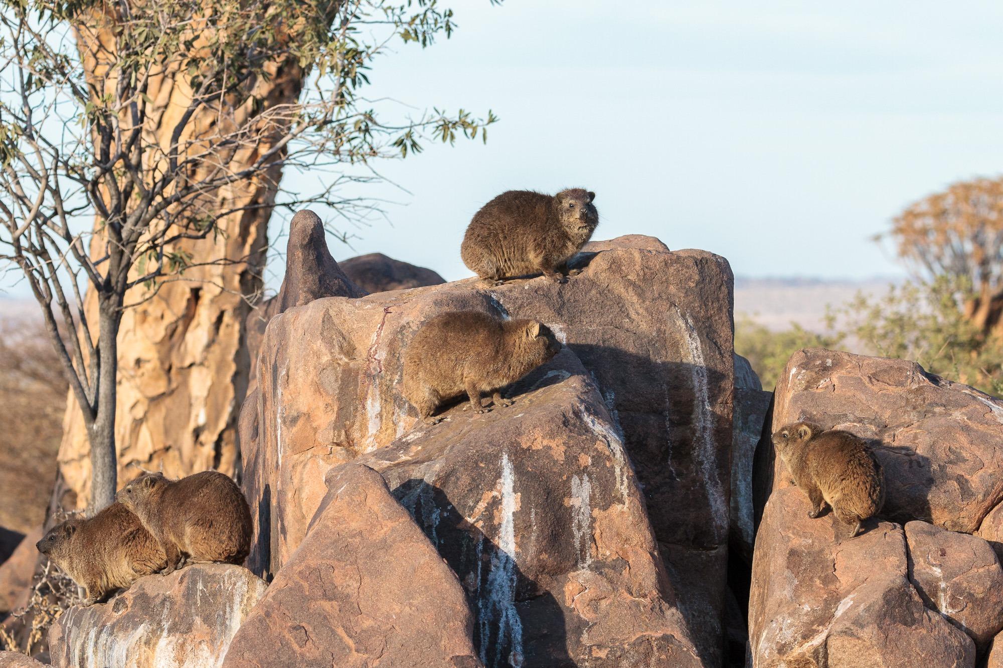 Klippschliefer im Köcherbaumwald in Namibia