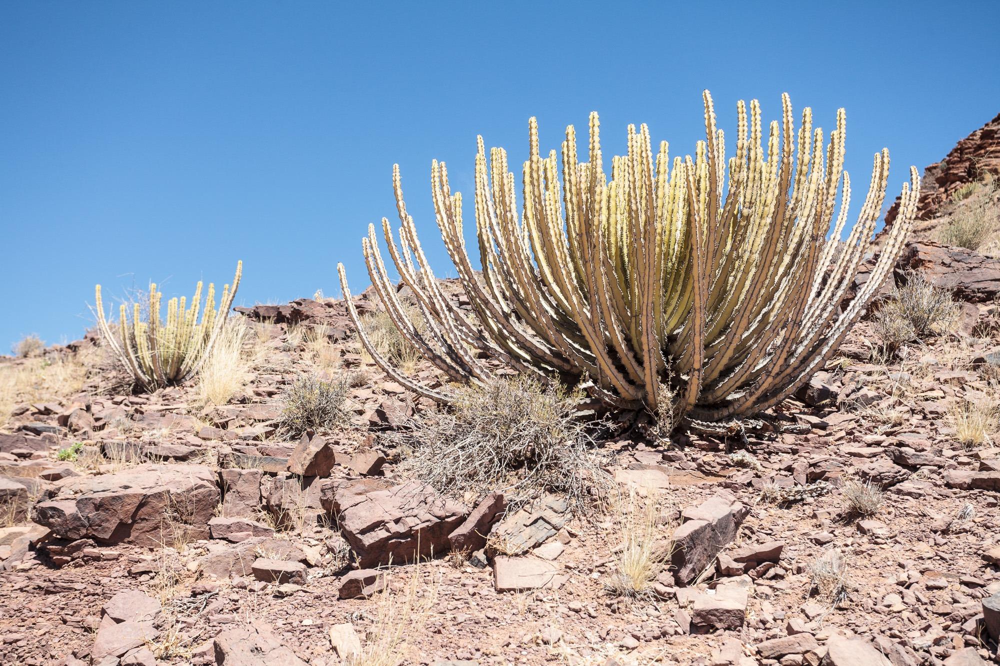Namibische Wolfsmilch Euphorbia virosa in Namibia