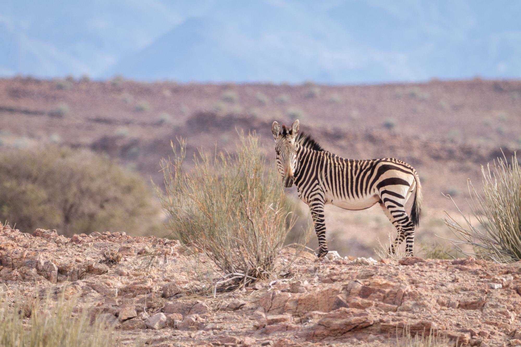 Zebra in der Felswueste in Namibia beim Fish River Canyon