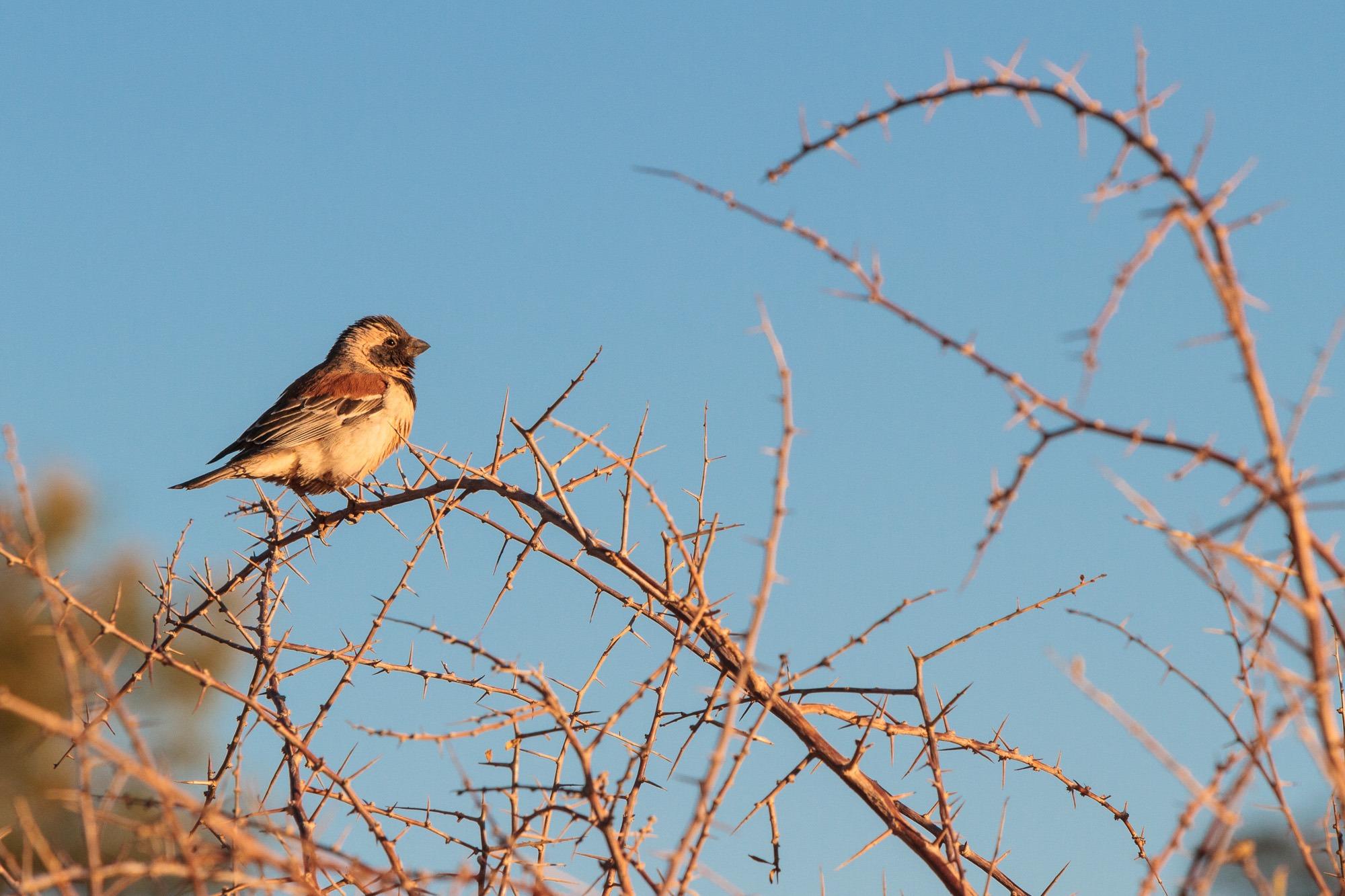 Vogel im Gebuesch im Sonnenuntergang in Namibia