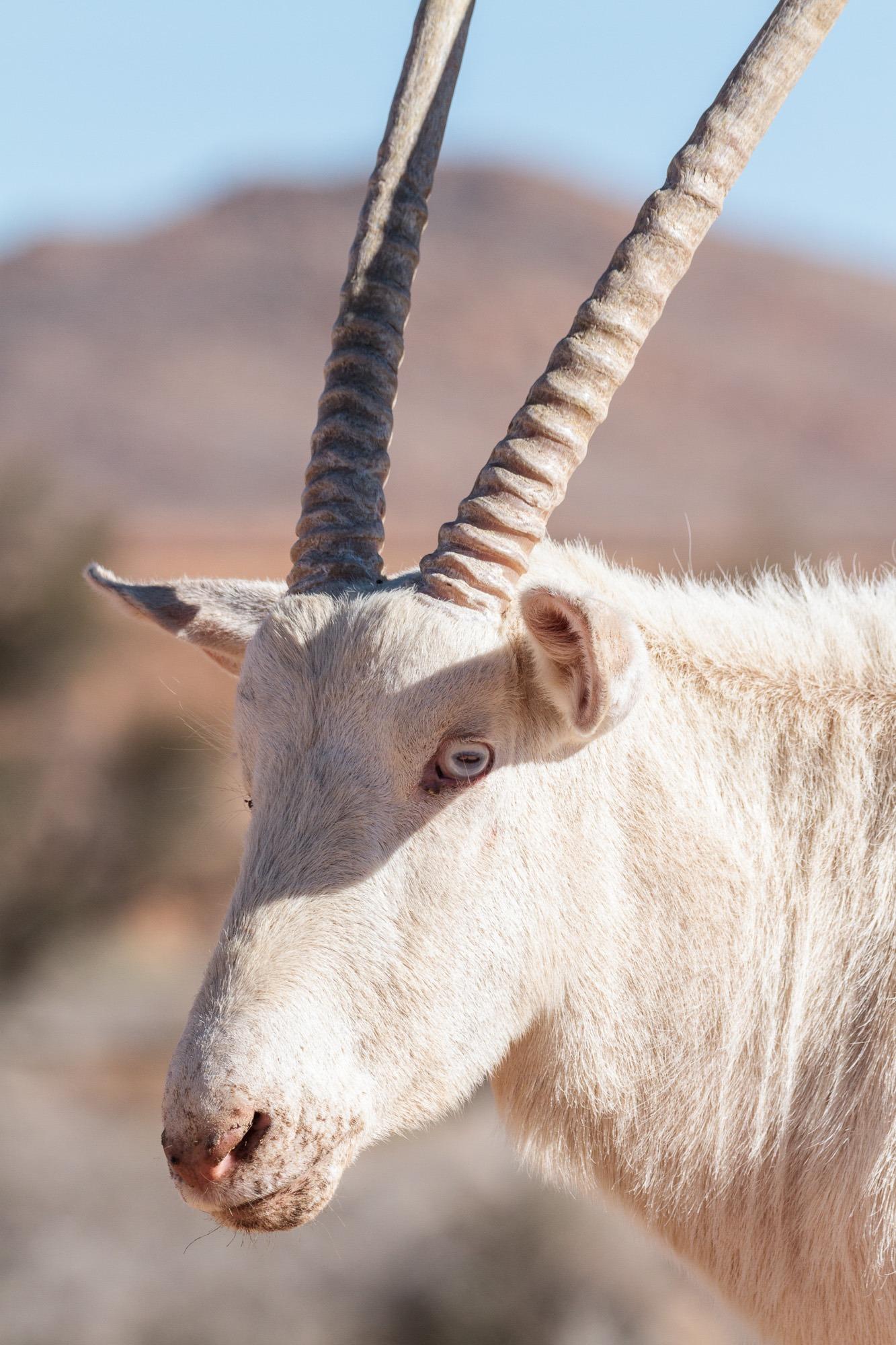 Albino Oryx Gemsbock Klein Aus Vista Namibia