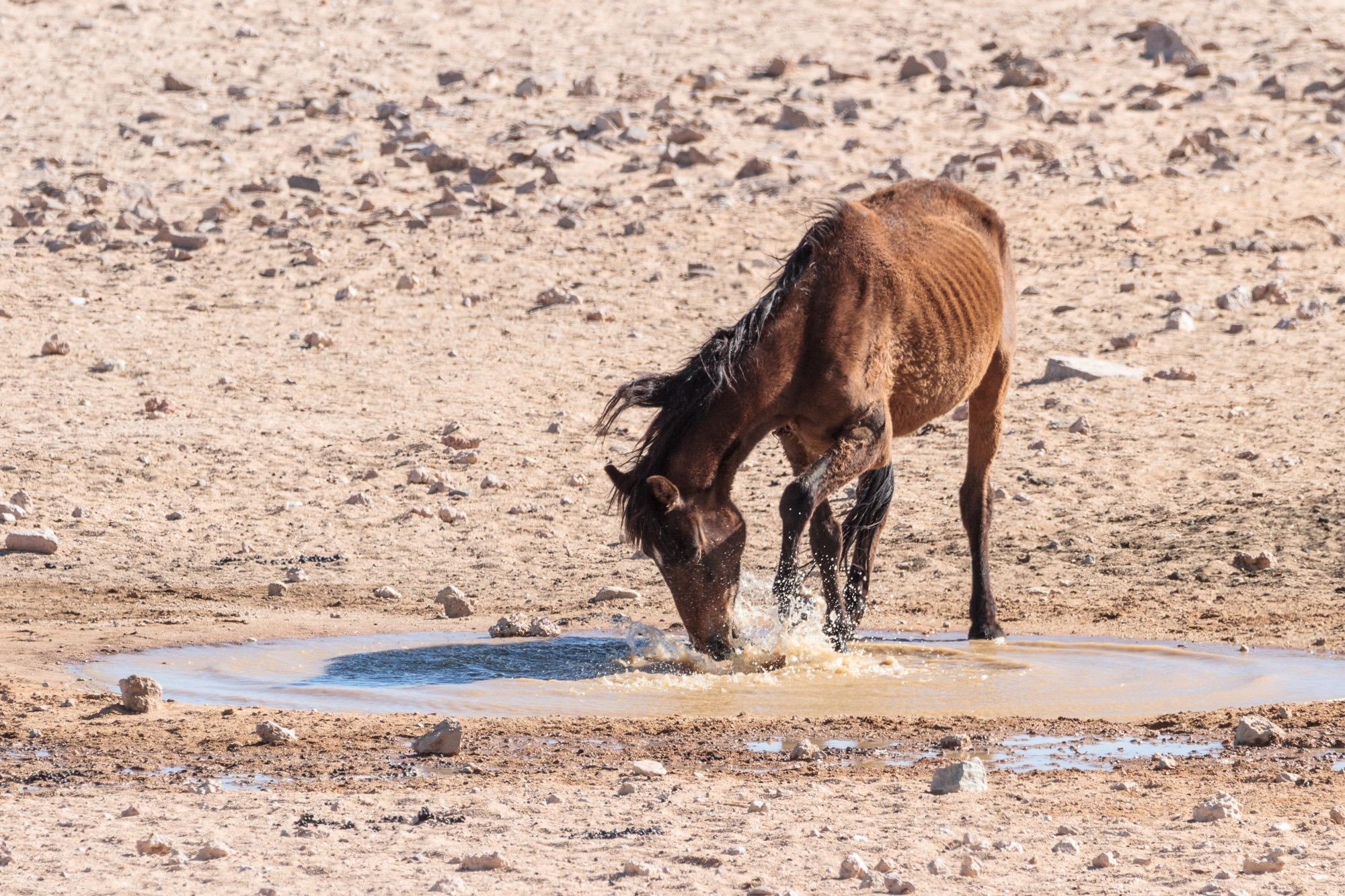 Garub Wildpferd trinkt in der Namib Wüste Namibia