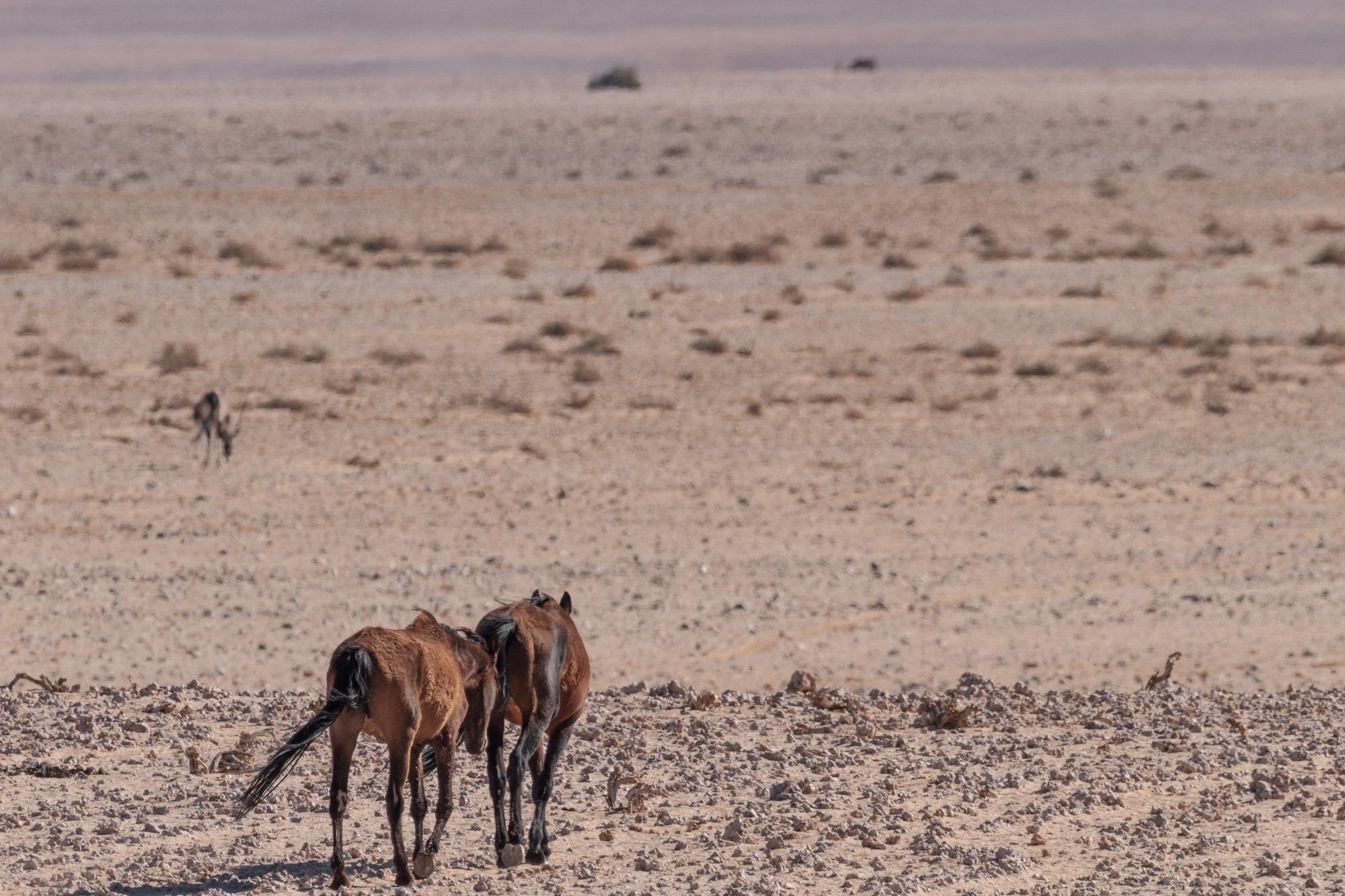 Garub Wildpferde entfernen sich in der Namib Wüste Namibia