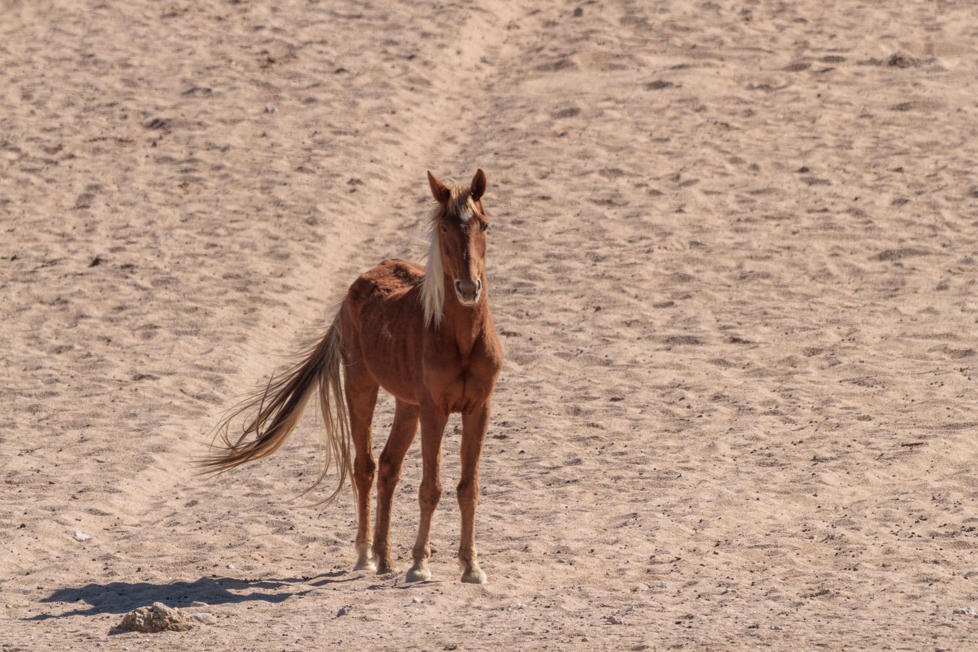 Garub Wildpferd in der Namib Wüste