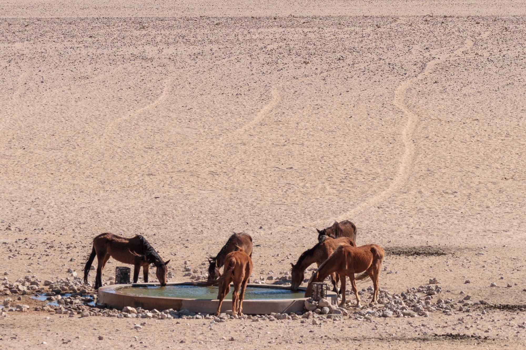 Garub Wildpferde trinken beim Wasserloch in der Namib Wüste Namibia