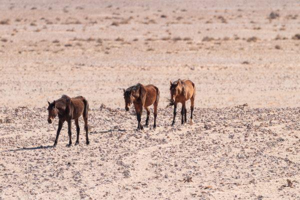 Garub Wildpferde nähern sich in der Namib Wüste in Namibia