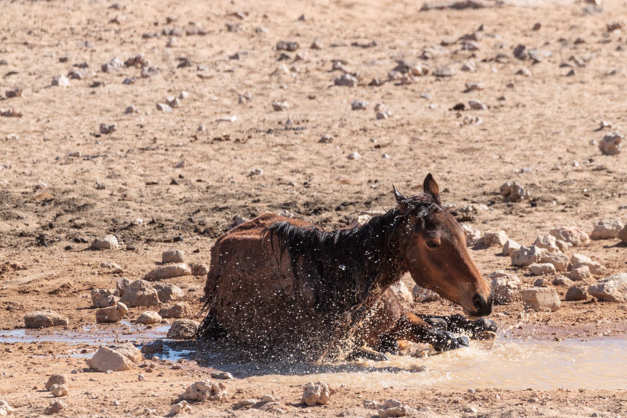 Garub Wildpferd badet im Wasserloch in der Namib Wüste in Namibia