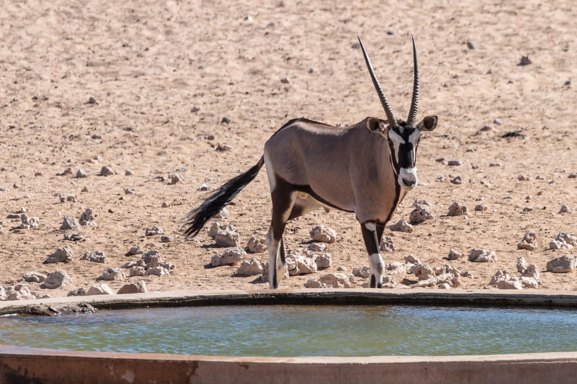 Oryx am Wasserloch in Garub in der Namib Wüste in Namibia