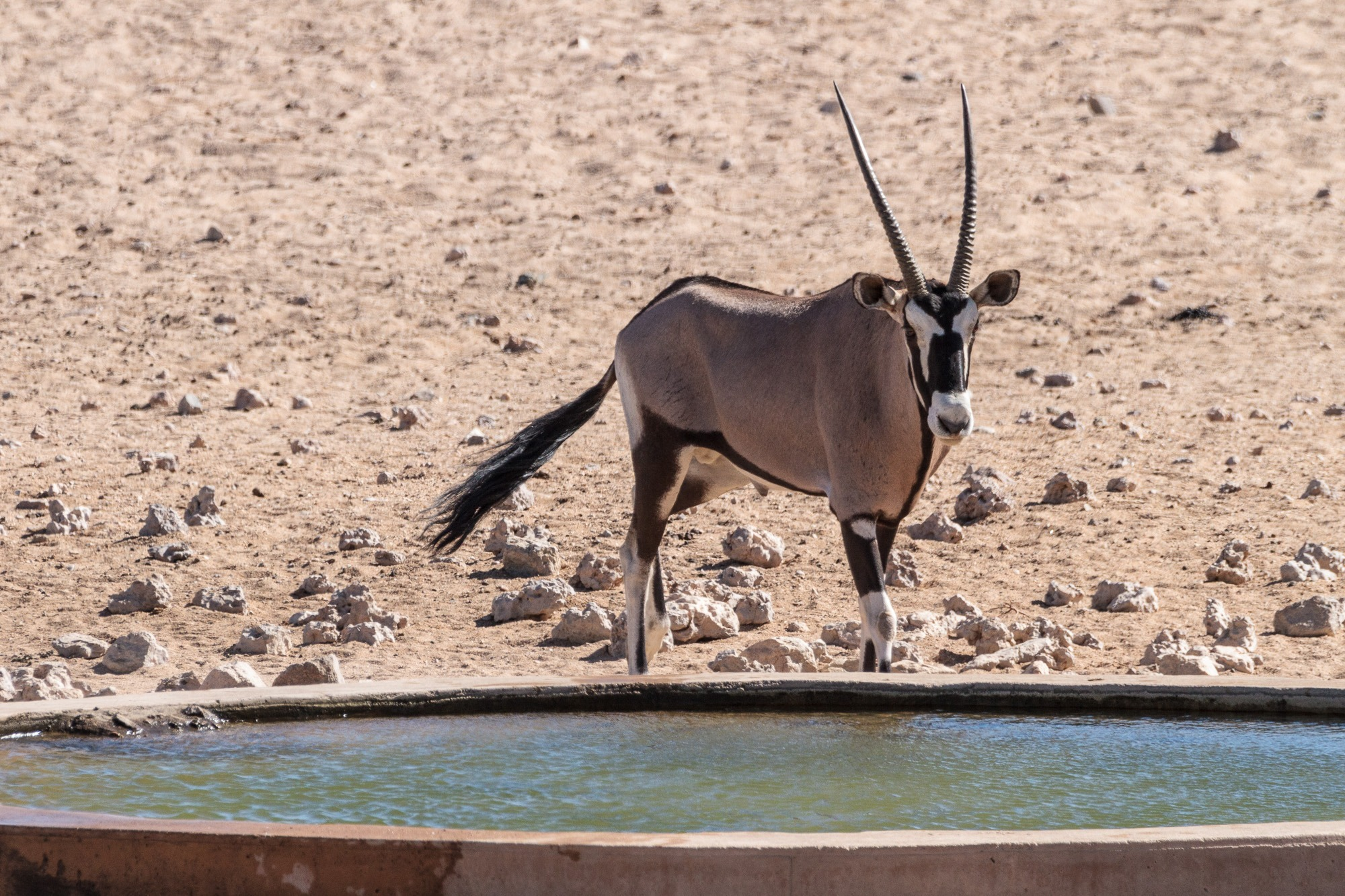 Oryx am Wasserloch in Garub in der Namib Wüste in Namibia