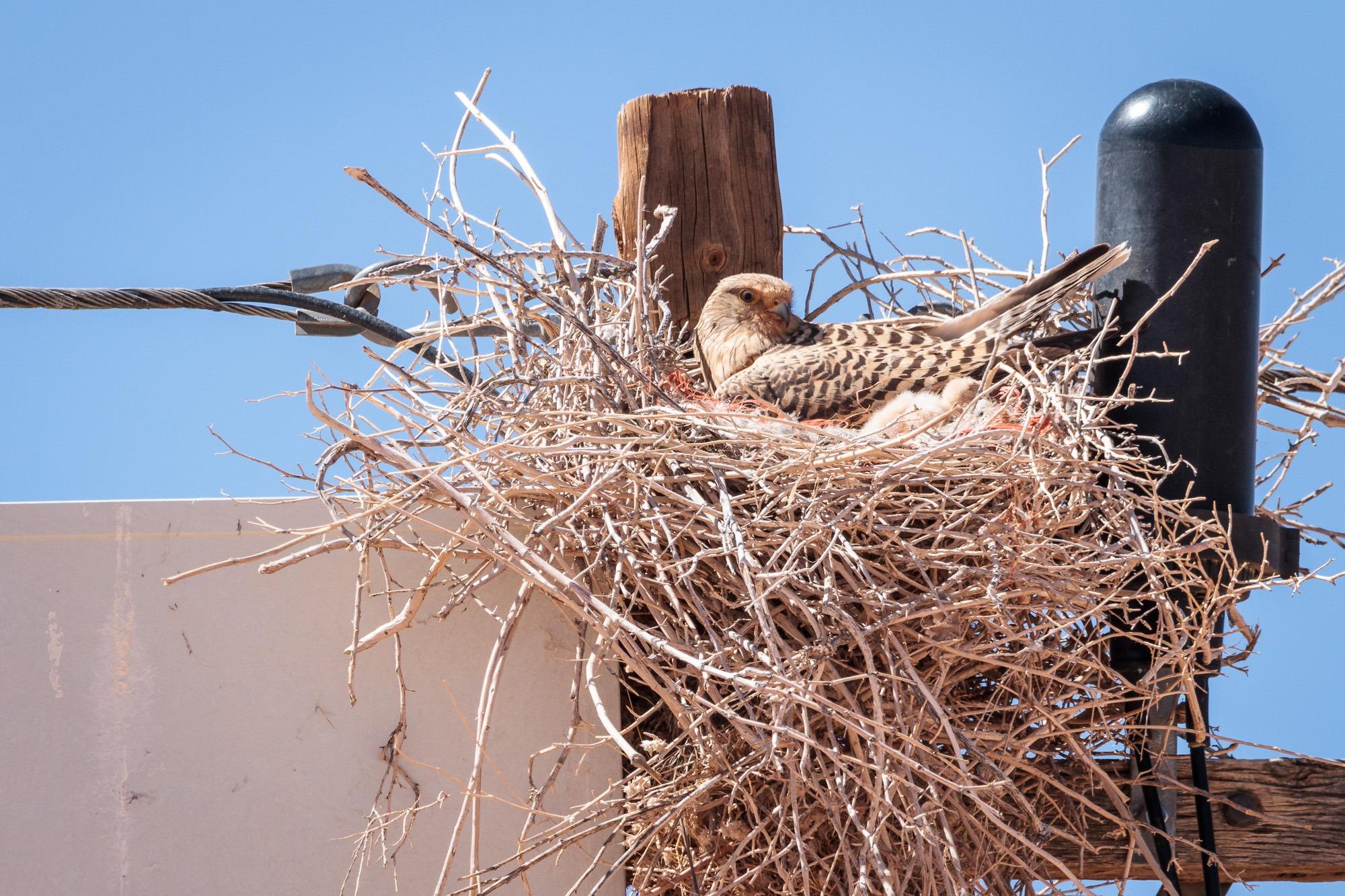Greifvogel mit Küken im Nest an einem Strommasten
