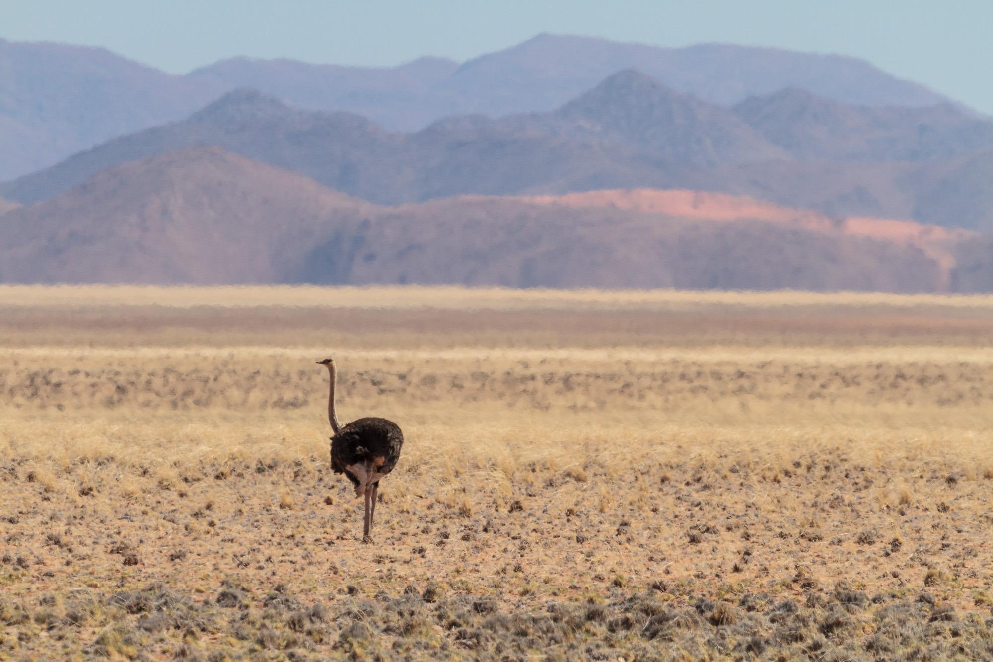 Einsamer Vogelstrauß in der Namib Wüste Tirasberge Namibia