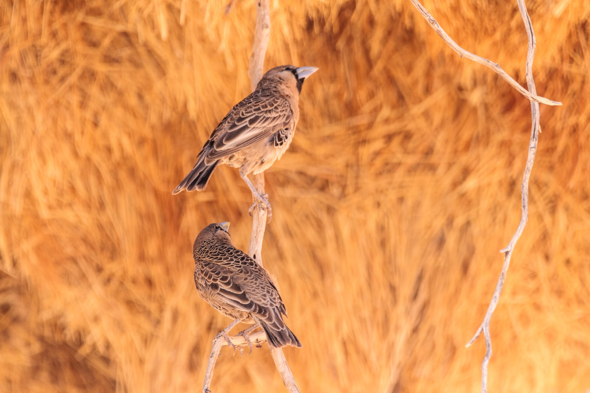 Webervogel auf Ast beim Nest