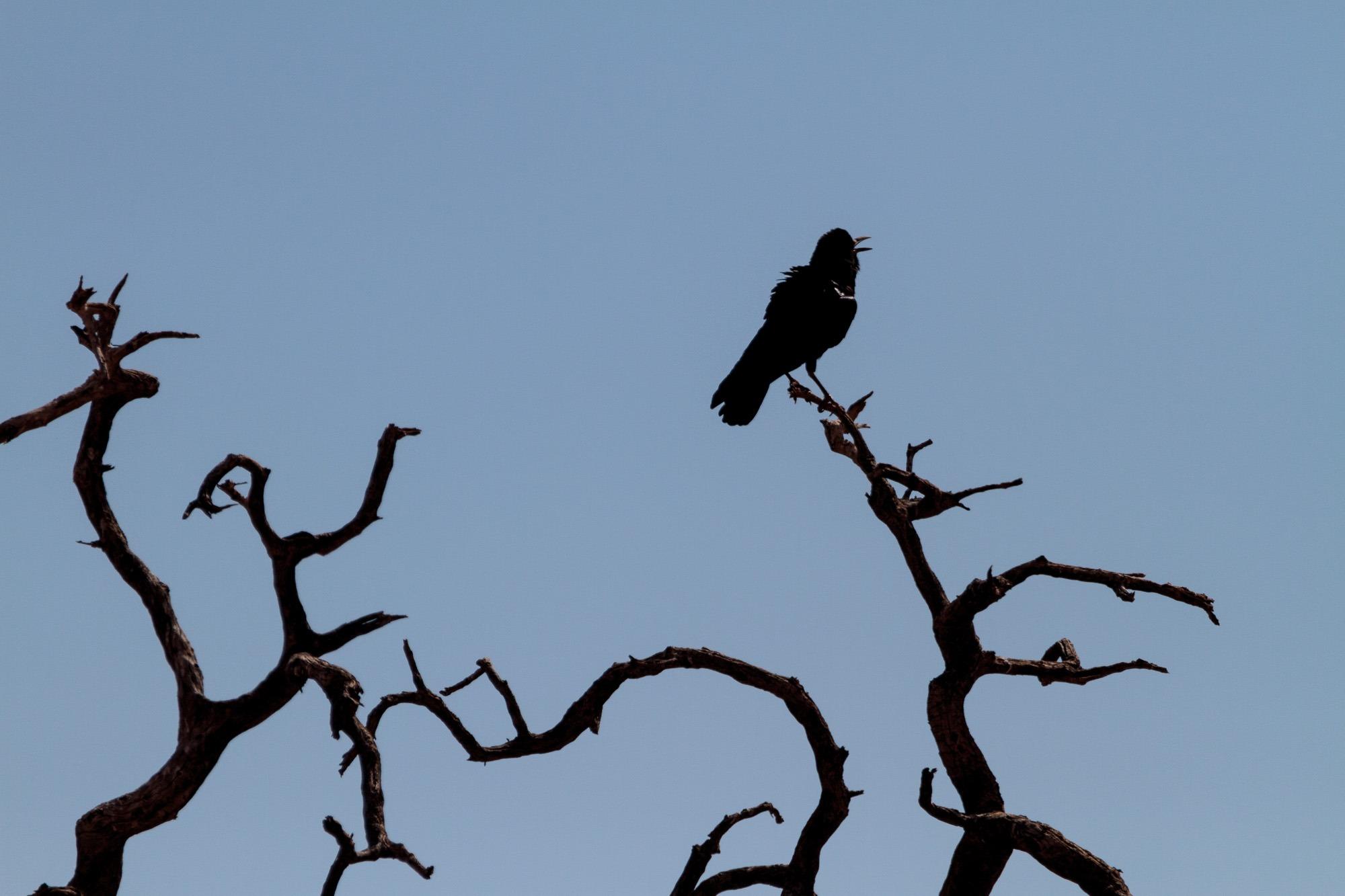Rabe als Silhouette auf einem Baum