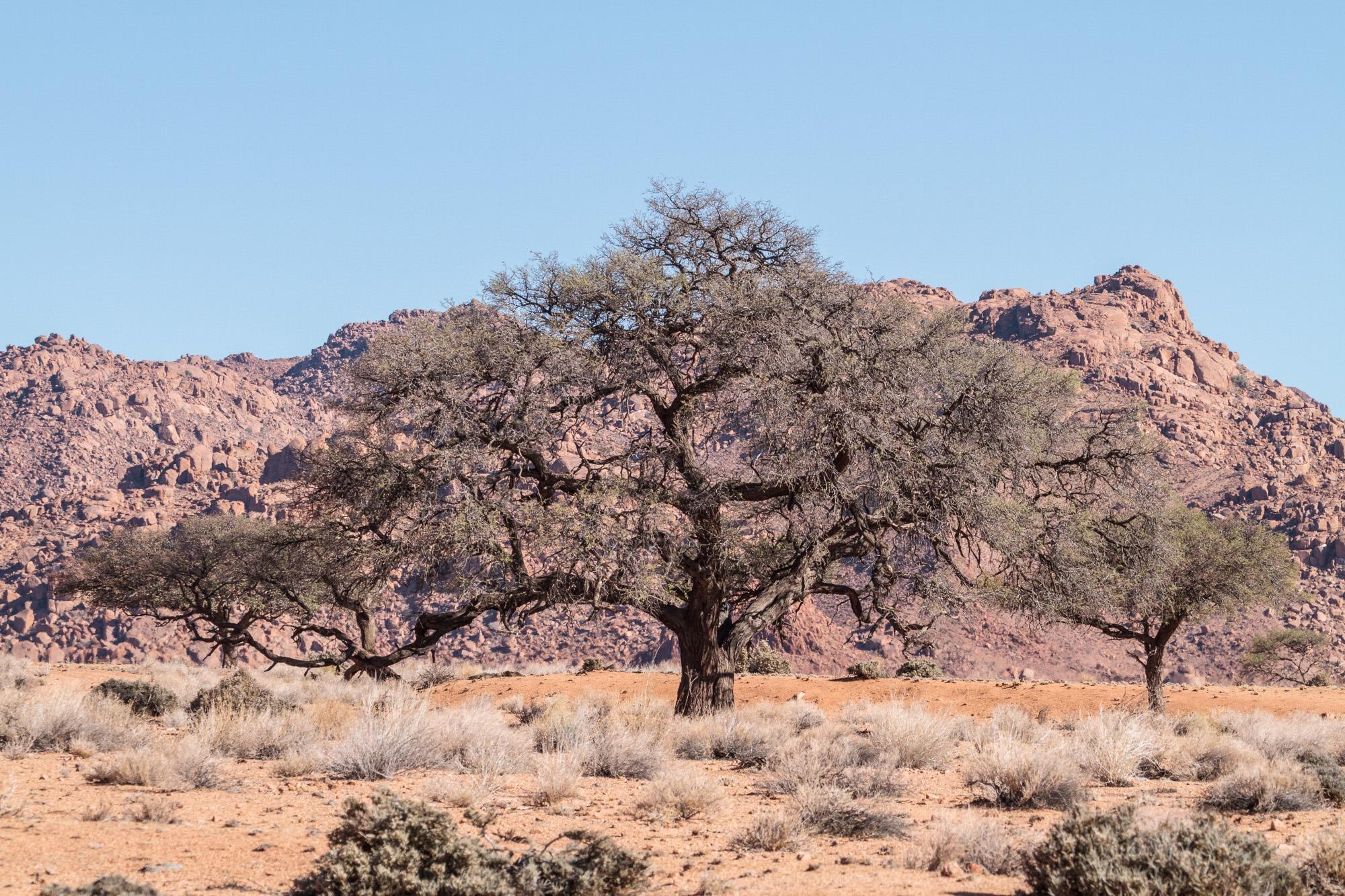 Akazie in der Namtib Biosphere Reserve Namibia