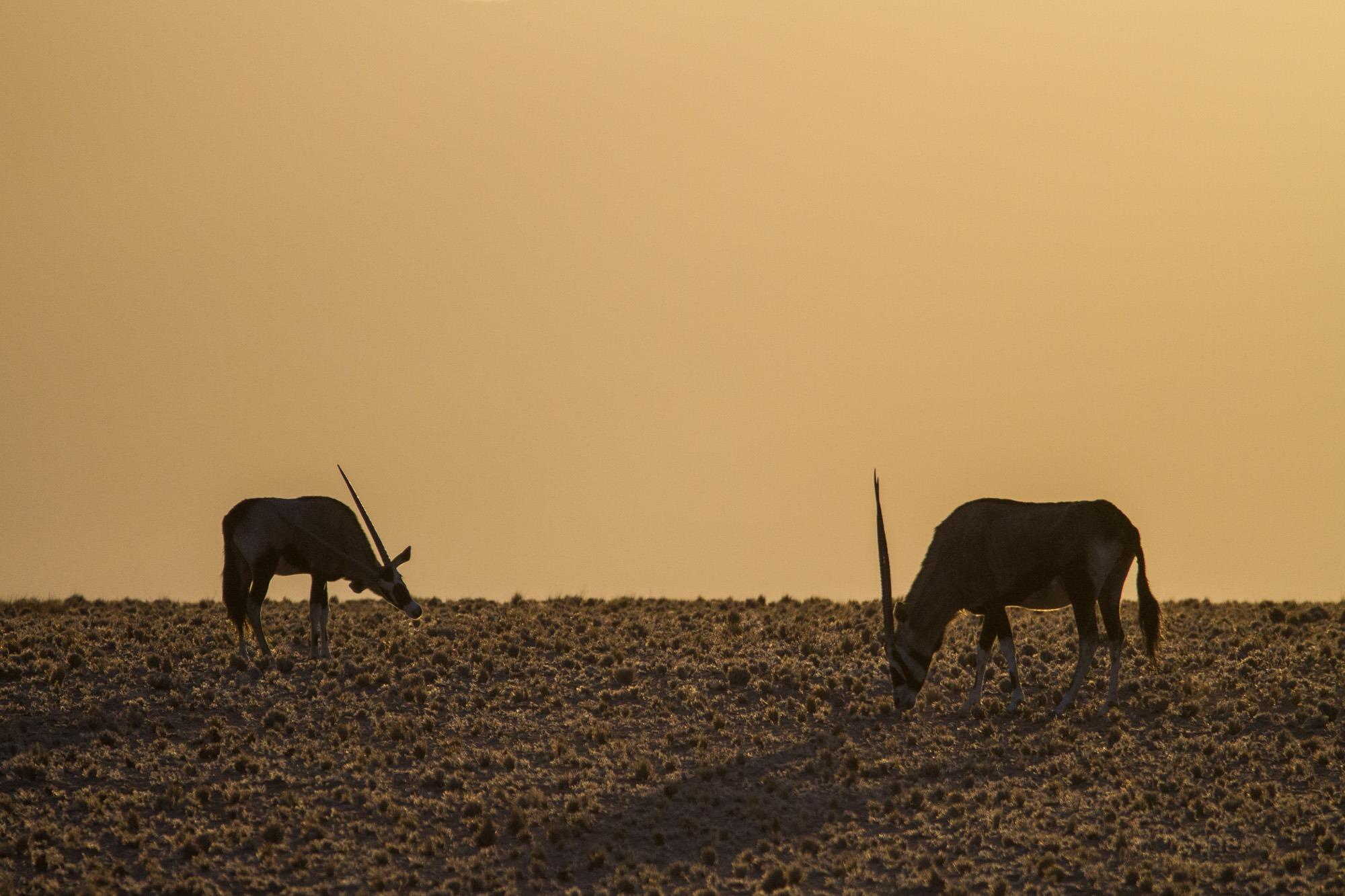 Oryx in mit Jungen in der Namib Wüste