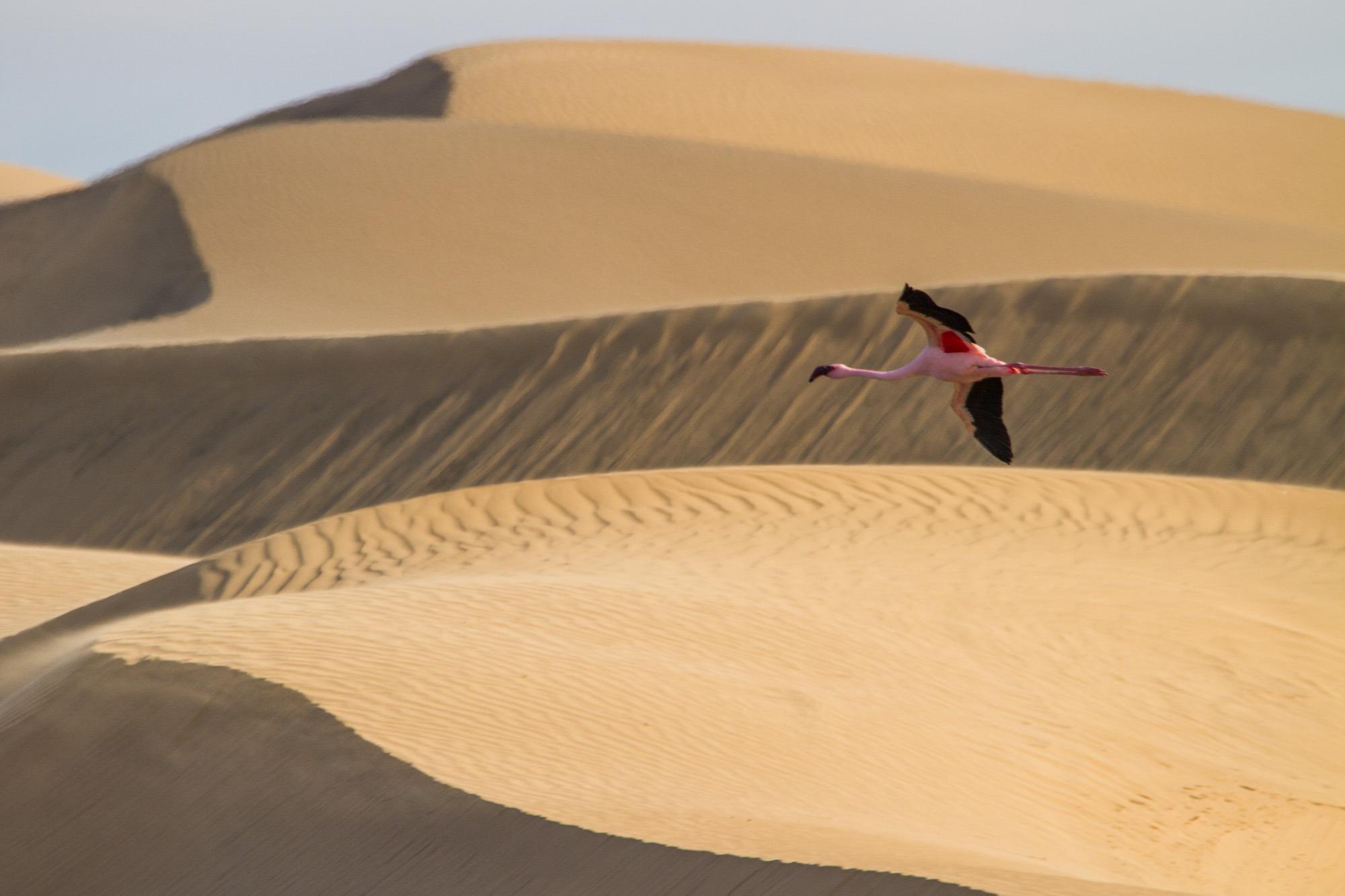 Flamingo fliegt zwischen Sand-Dünen bei Walvis Bay in Namibia