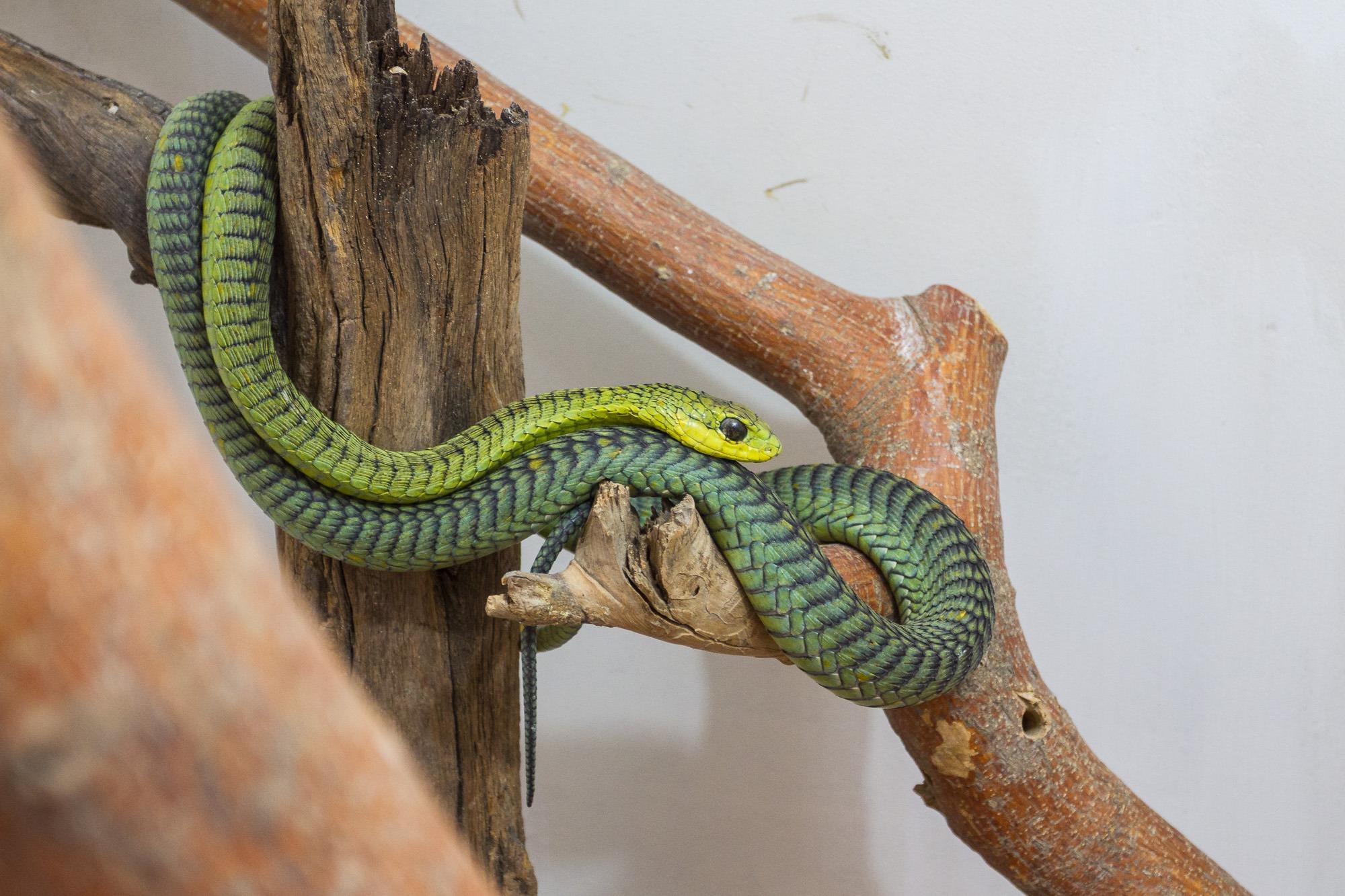 Boomslang - Afrikanische Baumschlange im living desert snake park swakopmund namibia