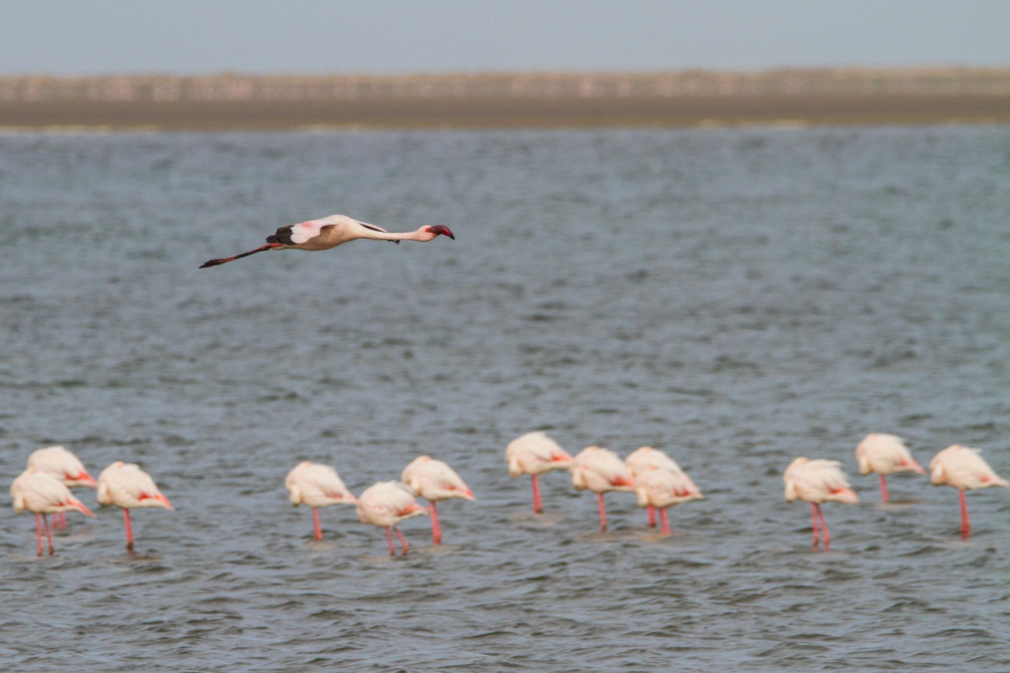 Fliegender Flamingo und Flamingos im Wasser in Lagune bei Walvis Bay