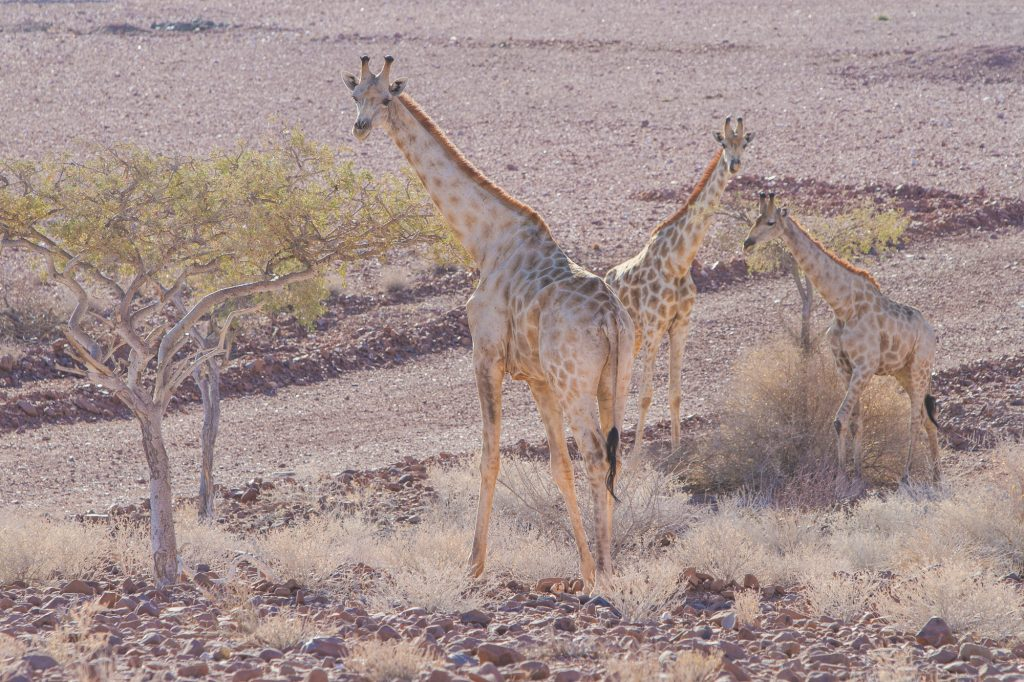 Drei Giraffen am Straßenrand im Damaraland in Namibia