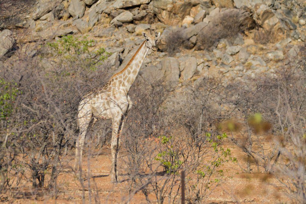 Stehende Giraffe im Etosha Nationalpark in Namibia
