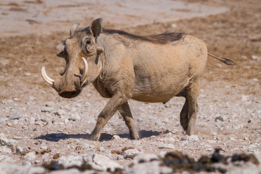 Laufendes Warzenschwein im Etosha Nationalpark in Namibia