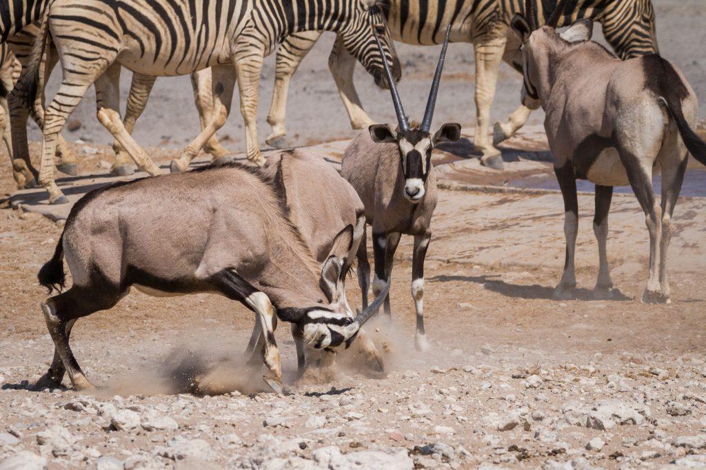 Zwei Oryx kämpfen am Wasserloch mit Zebras im Hintergrund im Etosha Nationalpark in Namibia