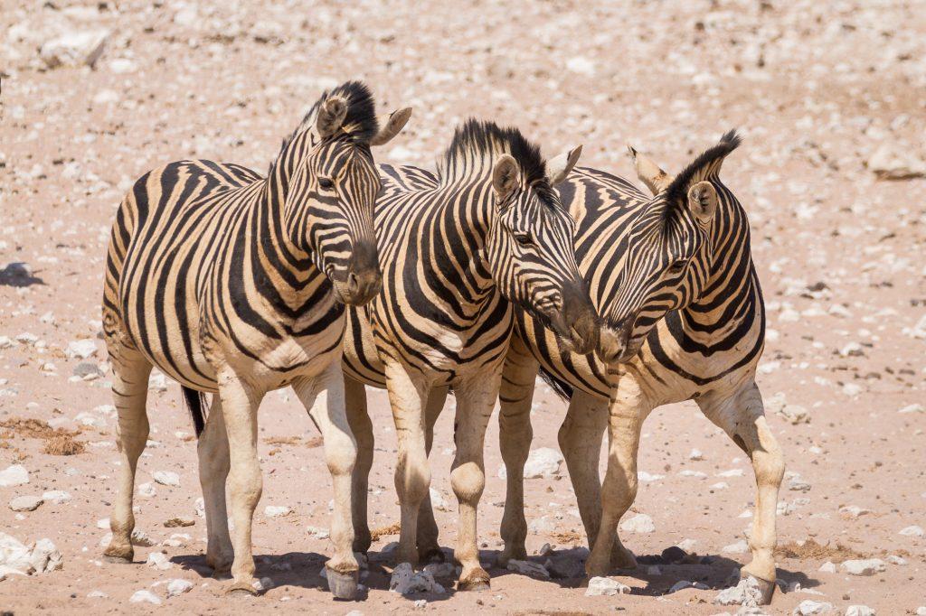 Drei Zebras mit rotem Sand im Fell im Etosha Nationalpark in Namibia