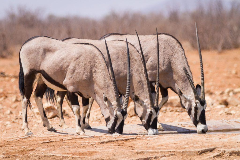 Drei trinkende Oryx im Etosha Nationalpark in Namibia
