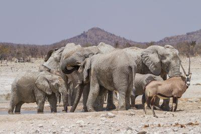 Gruppe von afrikanischen Elefanten mit einem Oryx an einem Wasserloch im Etosha Nationalpark in Namibia