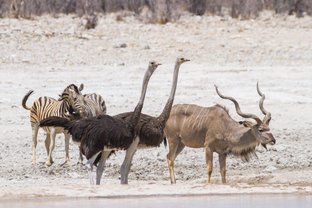 Zwei Zebras, zwei Vogelstrauße und ein Kudu am Wasserloch im Etosha Nationalpark in Namibia
