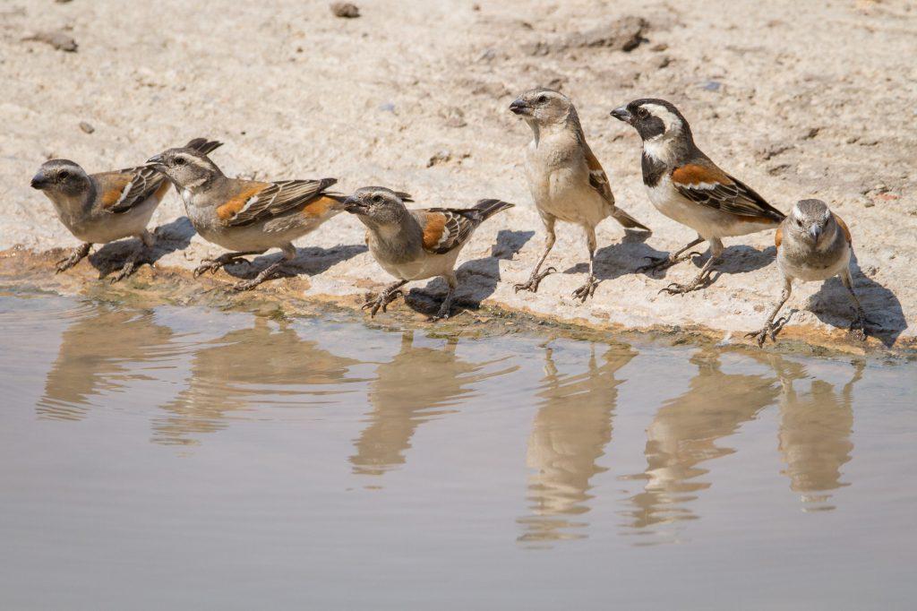 Spatzen trinken an einem Wasserloch im Etosha Nationalpark in Namibia