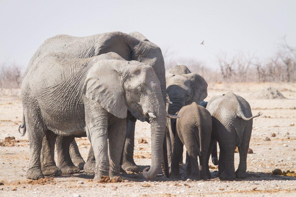 Afrikanische Elefantenherde im Etosha Nationalpark in Namibia