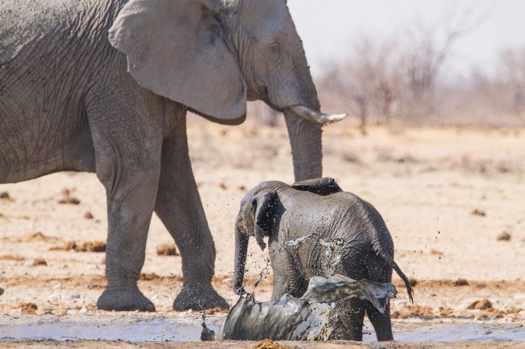 Junger afrikanischer Elefant badet in einem Wasserloch im Etosha Nationalpark in Namibia