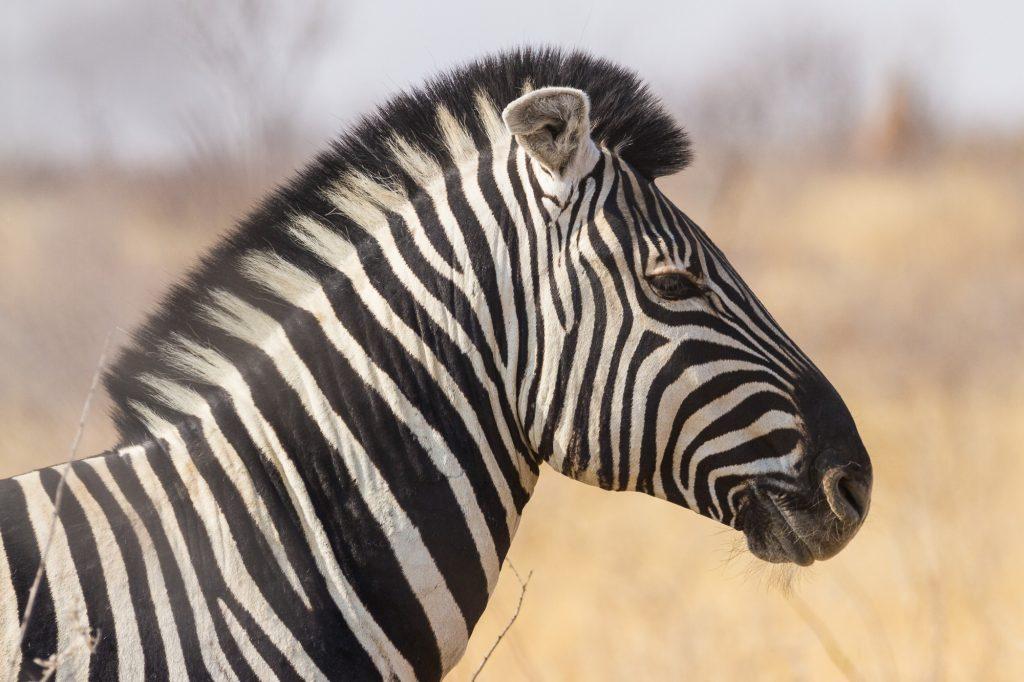 Zebra mit Mähne von der Seite im Etosha Nationalpark Namibia