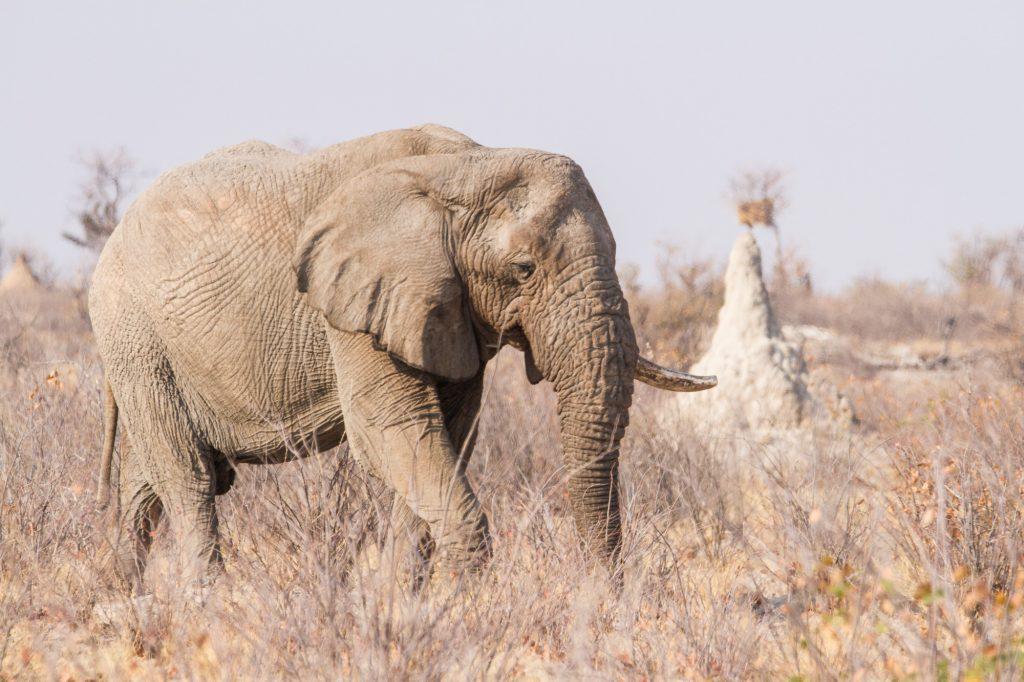 Afrikanischer Elefant im Etosha Nationalpark Namibia
