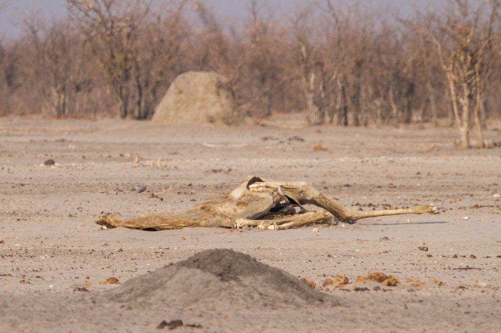 Skelett einer Giraffe im Etosha Nationalpark Namibia