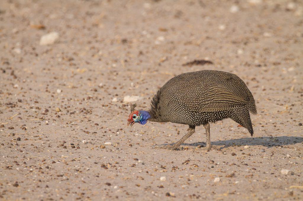 Numida meleagris - Helmperlhuhn im Etosha Nationalpark Namibia