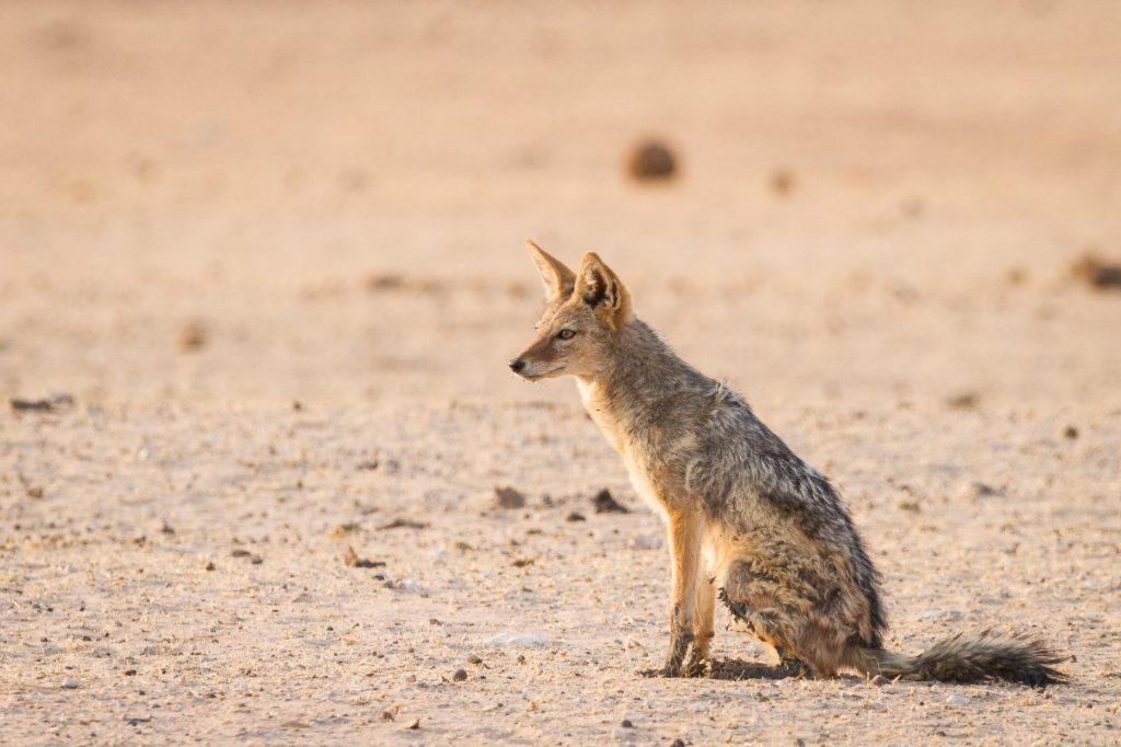 Sitzender Schakal im Etosha Nationalpark Namibia