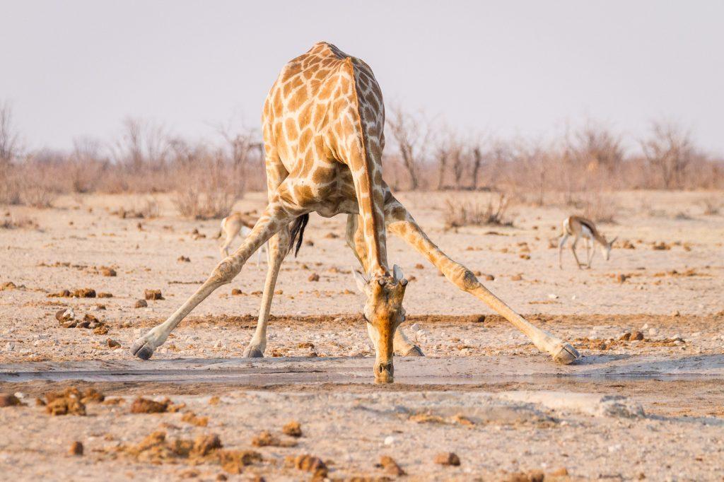 Giraffe trinkt im Etosha Nationalpark am Wasserloch Namibia