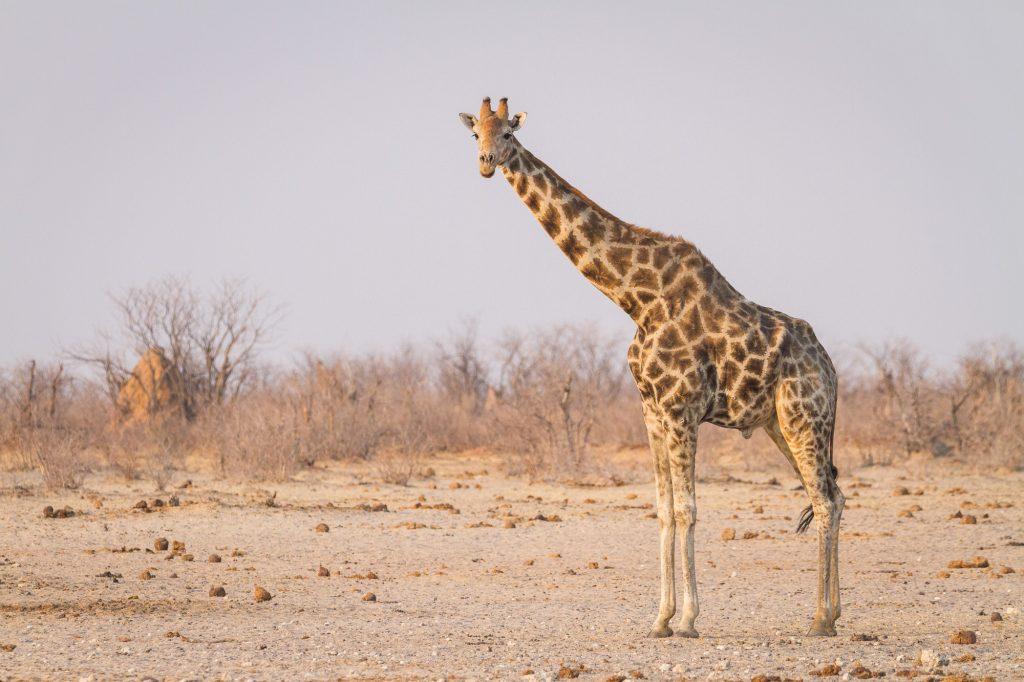 Giraffe im Etosha Nationalpark Namibia